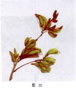 牡丹叶子的画法